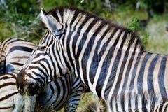 Weiden lassende Zebras stockfotos