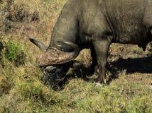 Weiden lassender Büffel Stockfotografie