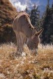 Weiden lassender Esel Stockfotos