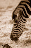 Weiden lassender Zebra Stockfotografie