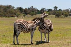 Weiden lassender Zebra Lizenzfreie Stockfotos