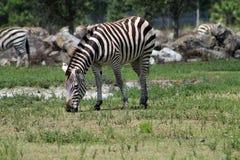 Weiden lassender Zebra Stockbild