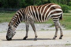 Weiden lassender Zebra Stockbilder