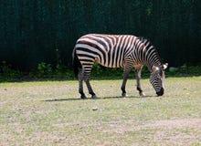 Weiden lassender Zebra Lizenzfreies Stockfoto
