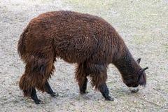 Weiden lassendes Alpaka stockfoto