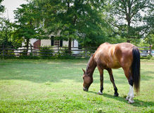 Weiden lassendes Brown-Pferd Stockbild