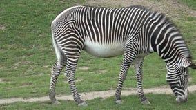 Weiden lassendes Grevyzebra Equus grevyi stock footage
