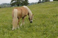 Weiden lassendes Haflinger-Pferd lizenzfreies stockbild