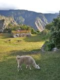 Weiden lassendes Lama Stockfotografie