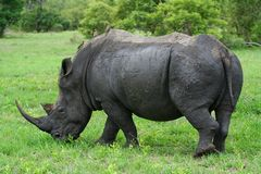 Weiden lassendes Nashorn Lizenzfreie Stockbilder