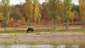 Weiden lassendes Pferd stock footage