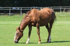 Weiden lassendes Pferd Stockfoto