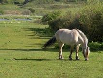 Weiden lassendes Pferd stockbild
