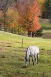 Weiden lassendes Pferd Lizenzfreie Stockbilder