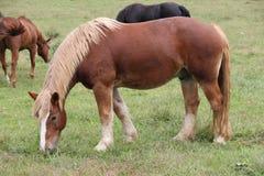 Weiden lassendes Pferd Lizenzfreies Stockfoto