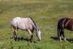 Weiden lassendes Pferd, Glenbow-Ranch-provinzielles Erholungsgebiet, Alberta, Kanada stockbild