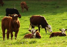 Weiden lassendes Vieh lizenzfreie stockbilder