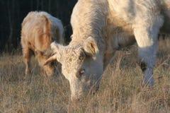 Weiden lassendes Vieh stockfotos