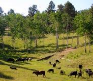 Weiden lassendes Vieh Stockfoto