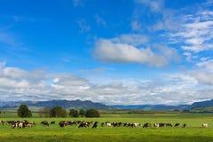Weiden lassendes Vieh Stockfotografie