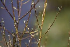 Weiden Salix-Niederlassungen Lizenzfreies Stockfoto
