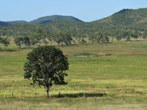 Weiden Sie Landschaft mit Bäumen und Zäunen in Ost-Australien mit Bergen I Lizenzfreies Stockbild