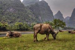 Weiden Sie Wiesen in ländlichem China, rote Kühe weiden lassen in Guangxi Lizenzfreie Stockfotografie