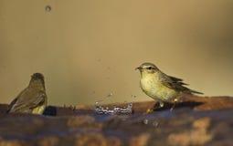 Weiden-Trällerer und Spritzwasser Stockbild