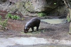 Weiden van baby het Pygmy Hippos Stock Afbeeldingen