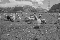 Weiden van de bergen van de Kaukasus, Georgië Royalty-vrije Stock Fotografie