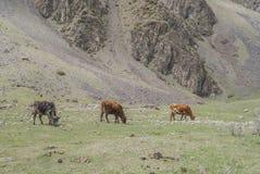 Weiden van de bergen van de Kaukasus, Georgië Stock Foto