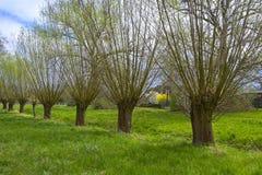 Weidenbäume in der ländlichen Landschaft Stockbild