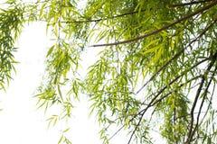 Weidenbaum Stockbilder