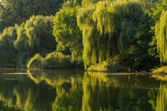 Weidenbaum auf den Banken des Flusses lizenzfreie stockbilder