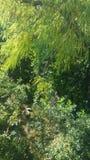 Weidenbaum über einem Nebenfluss Stockfoto