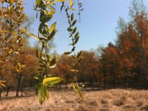 Weidenbaum, der im Frühjahr hängt lizenzfreies stockbild