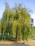 Weidenbaum in einem Park Stockbilder