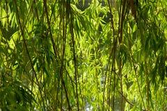 Weidenblätter schließen oben Feld des grünen Grases gegen einen blauen Himmel mit wispy weißen Wolken stockfotografie