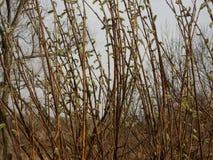 Weidenblühen Stockfotos