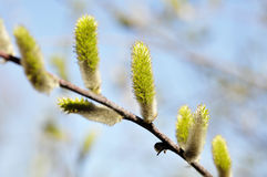 Weidenblüte Lizenzfreies Stockbild