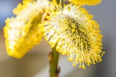 Weidenblüte in einer Nahaufnahme lizenzfreie stockfotografie
