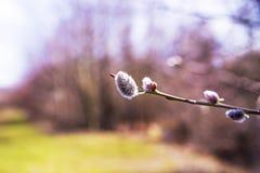 Weidenblüte im Frühjahr lizenzfreies stockbild