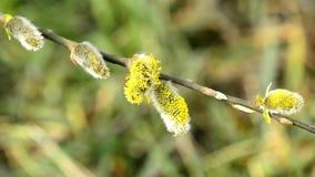 Weidenblüte und -nebenfluß im Frühjahr stock footage