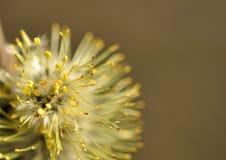 Weidenblume Lizenzfreies Stockbild