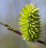 Weidenblume Stockfotografie