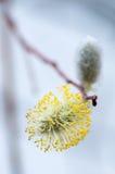 Weidenblume, die im Frühjahr blühte Stockbilder