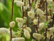 Weidenblumen auf den Stämmen Lizenzfreie Stockbilder