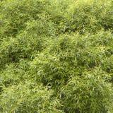 Weidenbusch Stockfoto