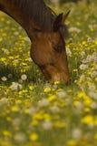 Weidend bruin paard Royalty-vrije Stock Foto