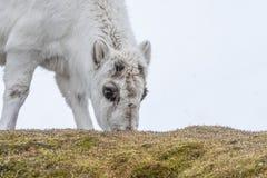 Weidend jong Svalbard rendier royalty-vrije stock fotografie